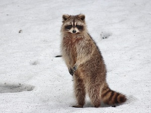 Racoon Stealer Malware Is New One To Watch For